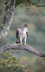 Bonelli eagle